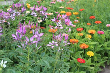 flower bed: Cleome and zinnia flower bed
