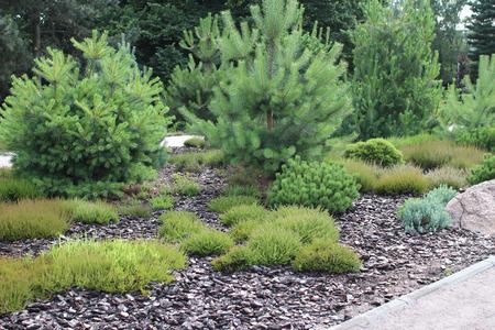 Alpine garden, arrangement of coniferous and heather