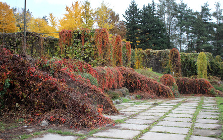 creepers: Creepers  in Gryshko National Botanical Garden in autumn, Kiev, Ukraine