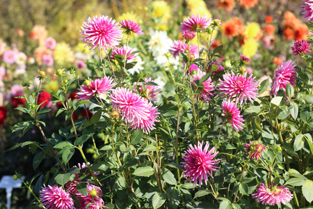 flower bed: Aster flower bed in autumn Stock Photo