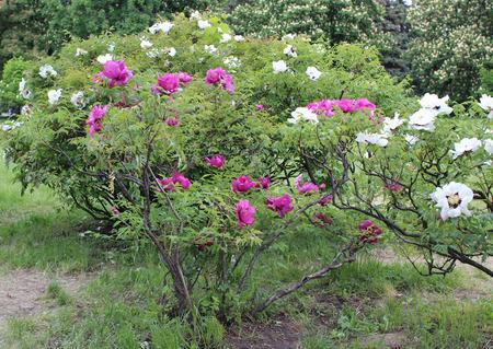 paeonia: Paeonia suffruticosa (tree peony) Stock Photo