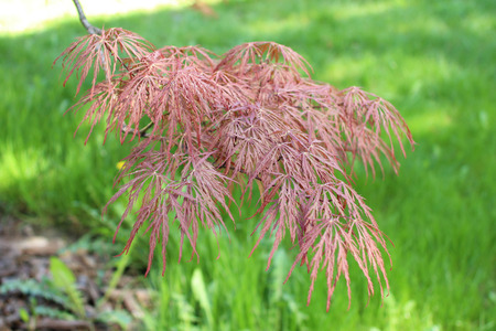 Leaves of Acer palmatum (smooth Japanese maple) Stock Photo