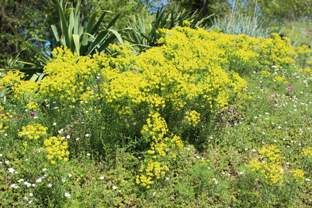 groundcover: Flowerbed with succulent plant - Euphorbia Cyparissias