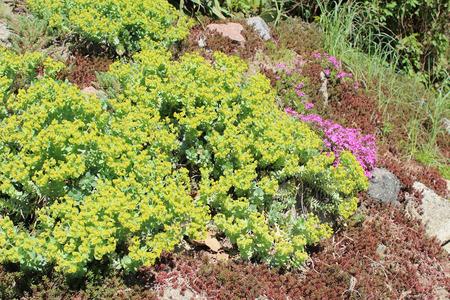 groundcover: Flowerbed with Succulent plants - Euphorbia helioscopia, Phlox subulata, Sedum hispanicum Stock Photo