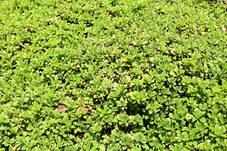 groundcover: Lawn with Sedum Spurium