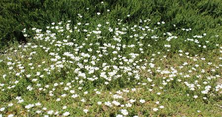 groundcover: Gypsophila flower in the garden