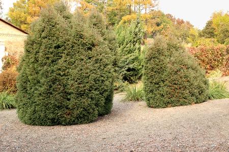 Lawson Cypress tree (Ellwoods Pillar) in the garden