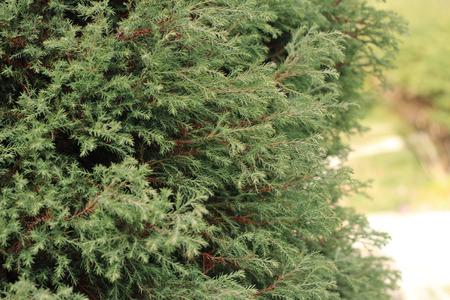 lawson: Lawson Cypress tree (Ellwoods Pillar) in the autumn garden