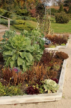 Ornamental cabbage in the autumn garden Imagens