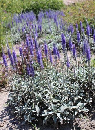 speedwell: Veronica Spicata or spike speedwell flower in summer garden Stock Photo