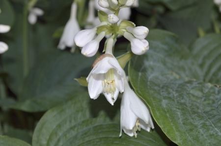 hosta: A close up of a hosta flower Stock Photo