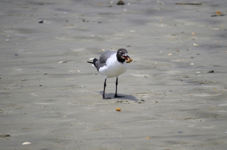 A seagull on the beach with a peanut in its mouth