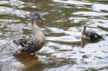 quack: A mother and baby duck in a pond