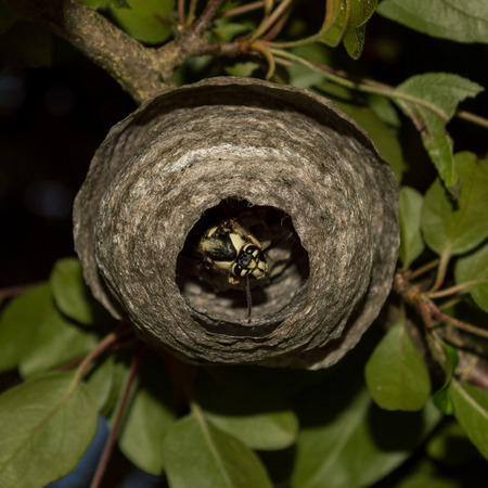 peaking: A wasp peaking out of his nest