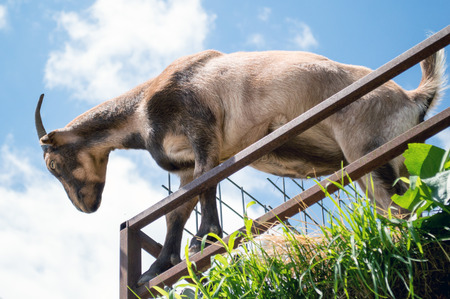 hircus: Goat looking down from a rooftop