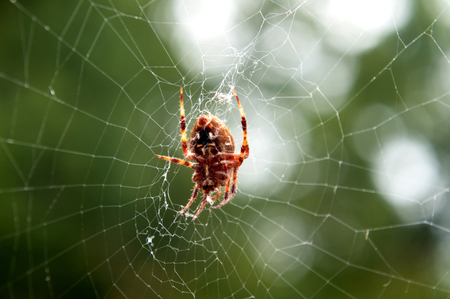A little brown spider in a web