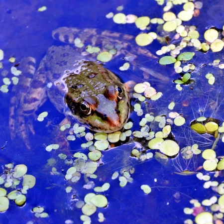 wetland conservation: a frog in the lake, among aquatic plants Stock Photo