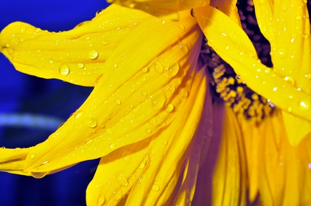 abloom: rain drops on the petals of a sunflower