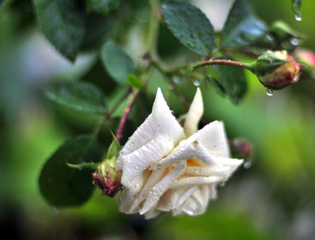 white rose with rain drops on the petals in the garden