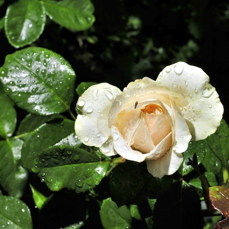 day flowering: Flowering rose with raindrops in the garden on a sunny day Stock Photo