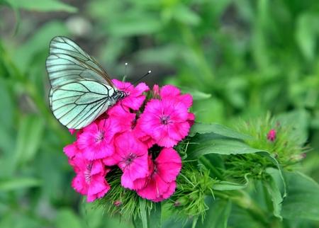 Black-veined White Butterfly on roses flowers macro