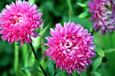 Autumn flowers. Pink Astra on green backgrownd Stock Photo