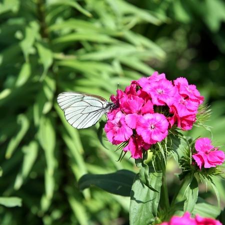 feelers: Black-veined White Butterfly on roses flowers macro