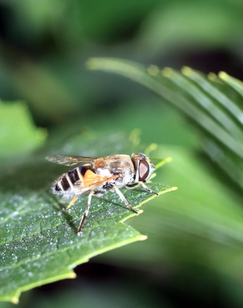 Closeup of a hoverfly, or syrphid fly on a green leaf. Stock Photo