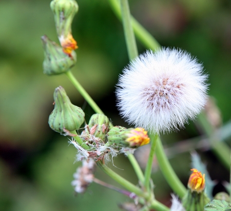 flowering weed plant with fluffy seed in sunny day
