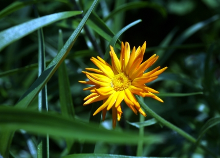 pot marigold: Close up view of calendula flower on green blurred background
