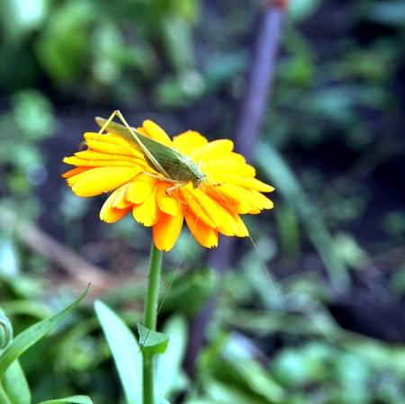 Green grasshopper drinking water on the yellow flower. Macro. Narrow depth of field.