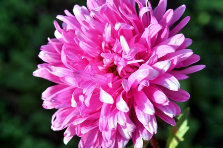 Autumn flowers. Pink Astra on green backgrownd. Flower in big close up.