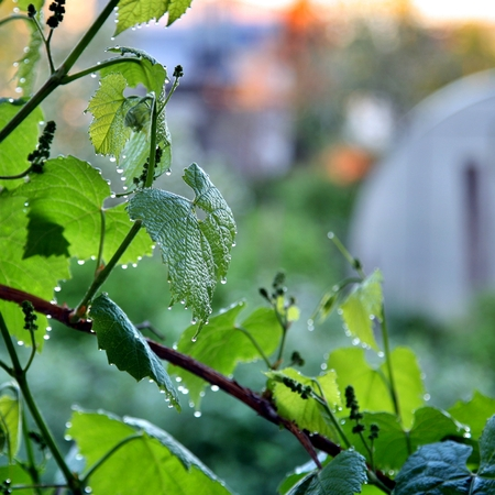 dew drops on a green leaf under the morning sun. Narrow depth of field. Stock Photo