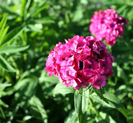 Beautiful bright pink purple phlox flowers planted in a garden on a green blurred background