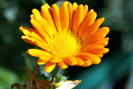 pot marigold: Close up view of calendula flower on blurred background. Flower in big close up.