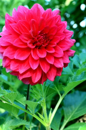 Closeup on red dahlia flower on natural background