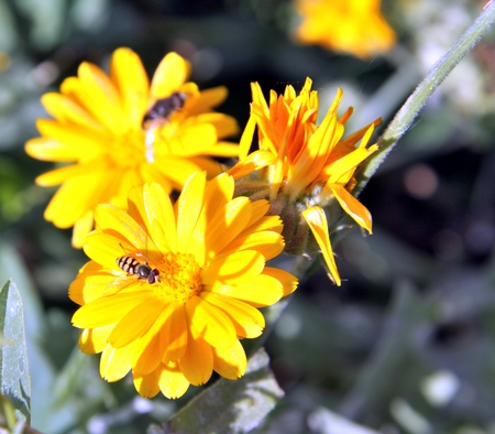 Closeup of a hoverfly, or syrphid fly on Calendula flower Stock Photo