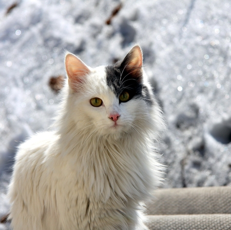 the cat sits and stares at the photographer in the background Unsharp melting spring snow