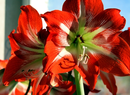 red flower on window background with latin name Amaryllis or Hippeastrum