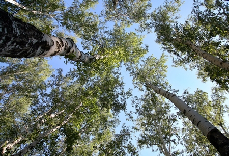 tallness: Bottom view on the trunk and foliage of a tall trees birch on a background of blue sky