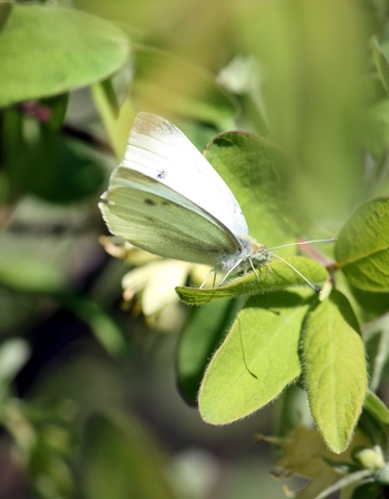 butterfly cabbage butterfly with latin name Pieris brassicae on a green leaf. Selected focus, small depth of field. Stock Photo
