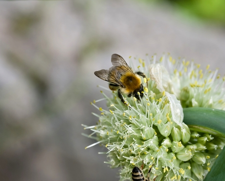Allium flower: bumblebee on flower of onions