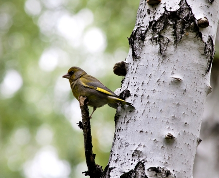 forest bird Carduelis chloris sit on the branch