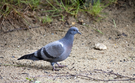 Pigeon walking on the sand on the shore of lake Stock Photo