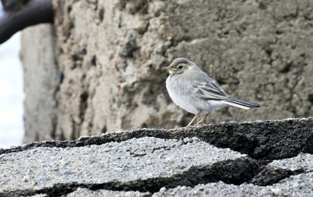 pied: nestling Wagtails on the shore of lake