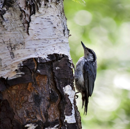 nuthatch sits on a birch