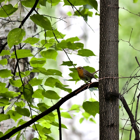 redbreast: Robin sits on a tree branch