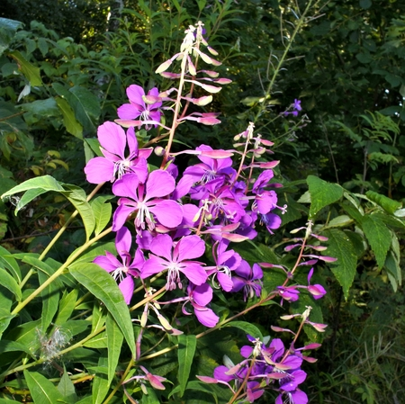 fireweed: bright blooming fireweed
