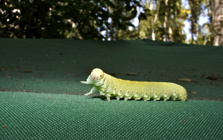 green caterpillar on tent
