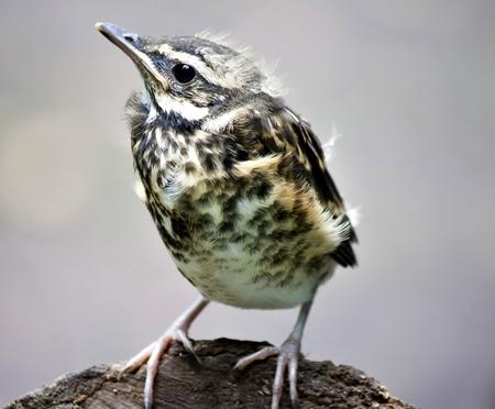 chick of the thrush, Fieldfare Stock Photo